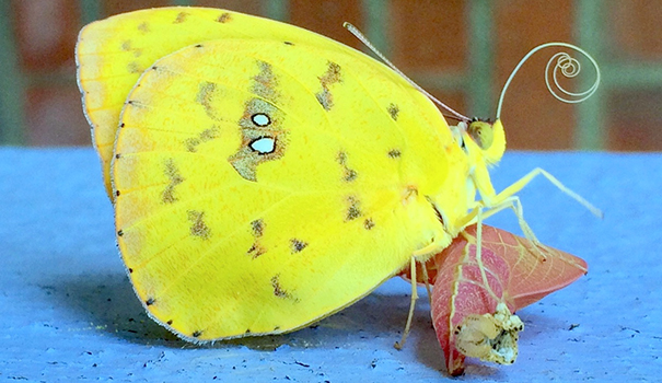 Breezy, the newly emerged Cloudless Sulphur Butterfly, extends and curls his tongue, or proboscis, before flying offweb