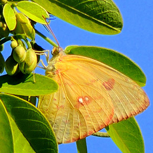 A cloudless sulphur butterfly on a Cassia splendida tree  (Photo by Cynthia Robertson)