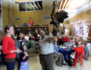 A Harris's Hawk, rehabbed by Raptors Institute, enthralled revelers at the San Diego Audubon Society holiday celebration. (Photo by Cynthia Robertson)