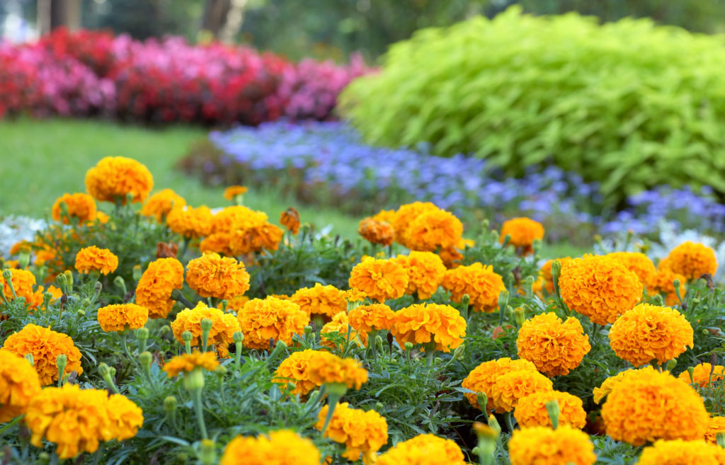 Marigolds are a great way to add color to your summer garden. (Courtesy of Armstrong Garden Centers)