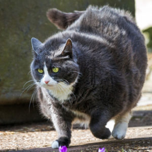 Consult a vet as to the best pace for your cat's weight loss. (Catster.com)