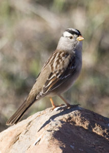 white-crowned-sparrow-zonotrichia-leucophrys-by-gerry-tietje